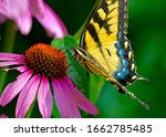 The Eastern Tiger Swallowtail...