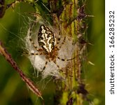Small photo of oak spider (Aculepeira ceropegia) on thistle