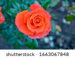 orange rose flower. close up... | Shutterstock . vector #1663067848