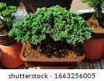 Miniature Conifer Trees On...