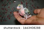 Budgie  Baby Budgie Parrot  ...
