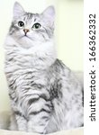 Siberian Cat  Female Silver...