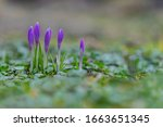 Crocus Vernus Or Spring Crocus  ...