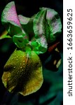 Single Amber Multicolor Iris...