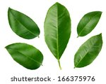 Lemon Leaves Isolated On A...