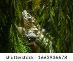 Phillippine Sail Fin Lizard As...