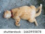 Adorable Ginger Cat Sleeps On...