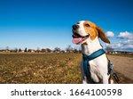 Beagle Dog On Rural Road. Sunny ...