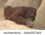 Adult Orangutan Resting On Rock