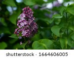 Branch Of Blooming Lilac....