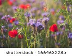 Colorful Flowering Herb Meadow...