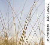 Sea Grasses On Long Beach...