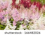 Heather flowers blossom in august park - stock photo