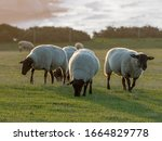 Suffolk Sheep Ewes Back Lit By...