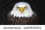 Oil Painting Of Bald Eagle Face