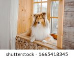 The Rough Collie Dog At Home....