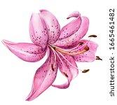 Elegant Lilly  Pink Lilly...