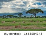 Antelopes In The National Park...