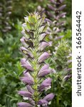 Small photo of Acanthus Spinosus (Bear's Breeches) flower in spring.