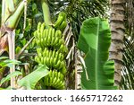 Close Up On Bananas Ripening I...