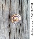 Snail  Gastropod Shell On The...