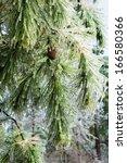 Icy Twigs Long Coniferous Pine...