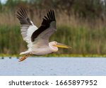 Great White Pelican  Or Eastern ...