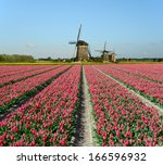 Field Of Red Tulips And...