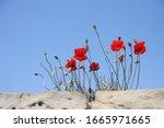 Poppies At Anzac Cove  Gallipoli
