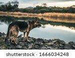 A Black And Tan German Shepherd ...