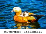 Duck with duckiling swim in water