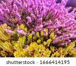 Blooming Wild Purple Common...