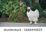 Silkie Chicken. A White Furry...