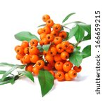 Pyracantha Firethorn Orange...