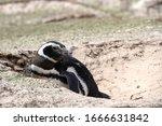 A Megellanic Penguin Resting O...