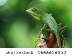 Small photo of Green lizard on branch, green lizard sunbathing on branch, green lizard climb on wood, Jubata lizard