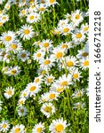 Small photo of Beautiful meadow in springtime full of flowering daisies with white yellow blossom and green grass - oxeye daisy, leucanthemum vulgare, dox-eye, common daisy, dog daisy, moon daisy - concept garden