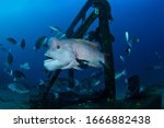 Bump Head Asian Sheepshead Wrasse with Large Forehead and Chin Swimming Underwater in Japan