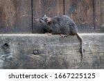 Wild Brown Norway Rat  Rattus...