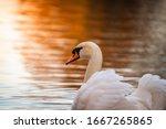 Swan Swimming Away. In The...