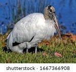 Wood Stork Resting On It's...