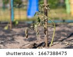 The Dried Bush Of A Tomato. The ...