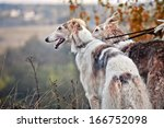 Borzoi Dog Portrait On Dry...