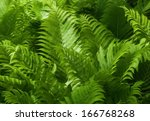 Beautiful Green Ferns With...