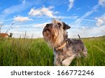 Cute Miniature Schnauzer On...