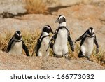 African Penguin  Table Mountai...