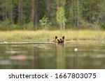 Brown Bear Swimming At Summer....