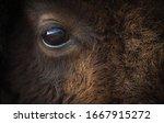 American Bison Or Buffalo Eye...