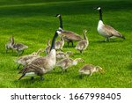 Canadian geese featuring fluffy ...