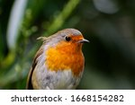 Adult European Robin Red Breast ...